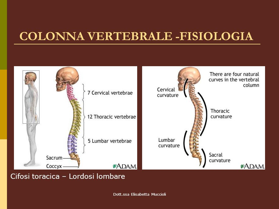 Dott.ssa Elisabetta Muccioli COLONNA VERTEBRALE -FISIOLOGIA Cifosi toracica – Lordosi lombare