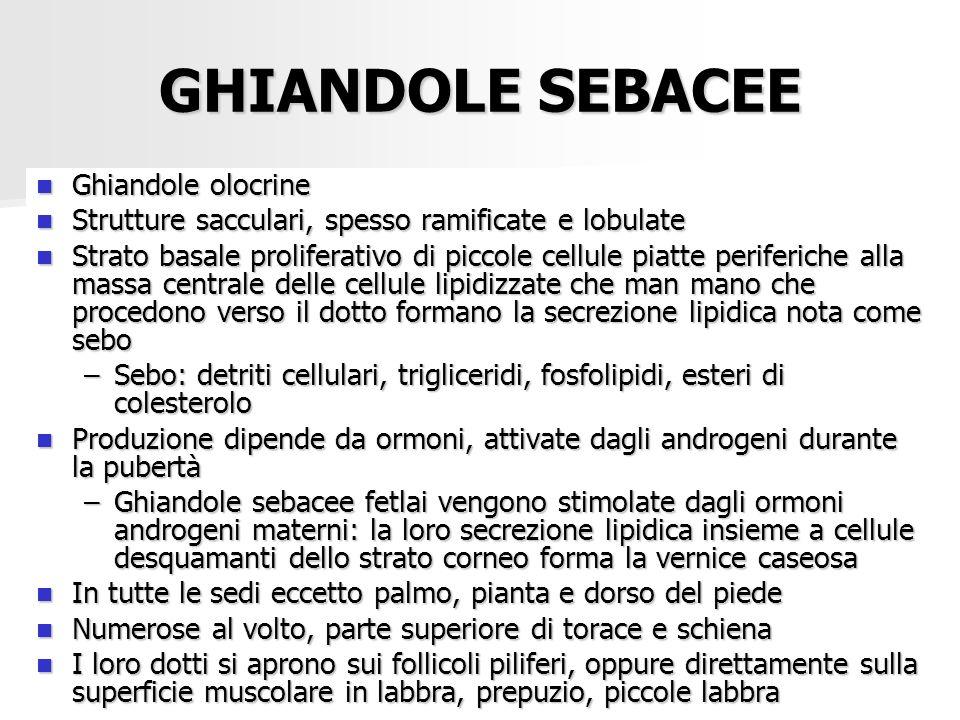 Dott.ssa E. Muccioli GHIANDOLE SEBACEE Ghiandole olocrine Ghiandole olocrine Strutture sacculari, spesso ramificate e lobulate Strutture sacculari, sp
