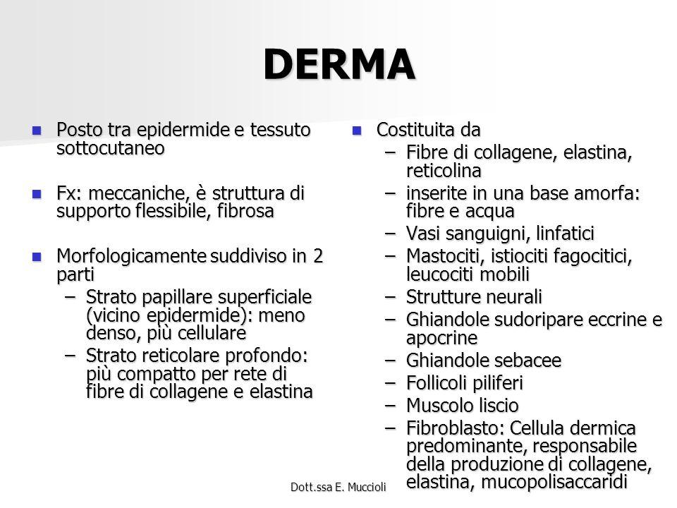 Dott.ssa E. Muccioli DERMA Posto tra epidermide e tessuto sottocutaneo Posto tra epidermide e tessuto sottocutaneo Fx: meccaniche, è struttura di supp