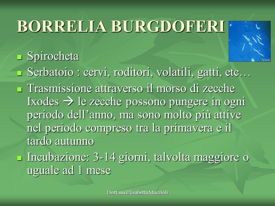 Dott.ssa Elisabetta Muccioli BORRELIA BURGDOFERI Spirocheta Spirocheta Serbatoio : cervi, roditori, volatili, gatti, etc… Serbatoio : cervi, roditori,