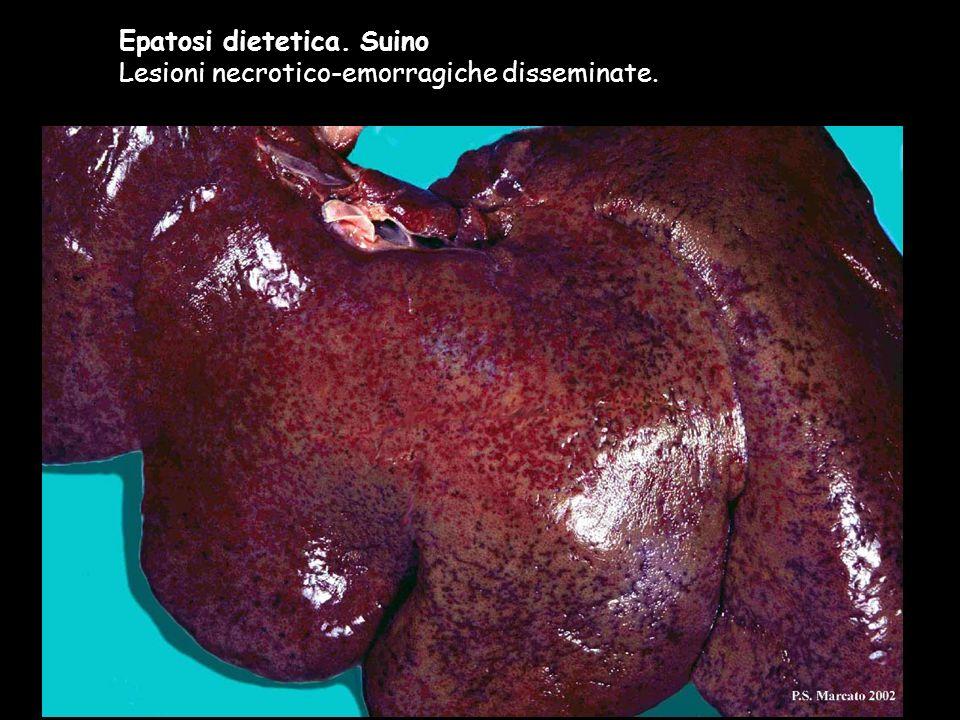 Epatosi dietetica. Suino Lesioni necrotico-emorragiche disseminate.