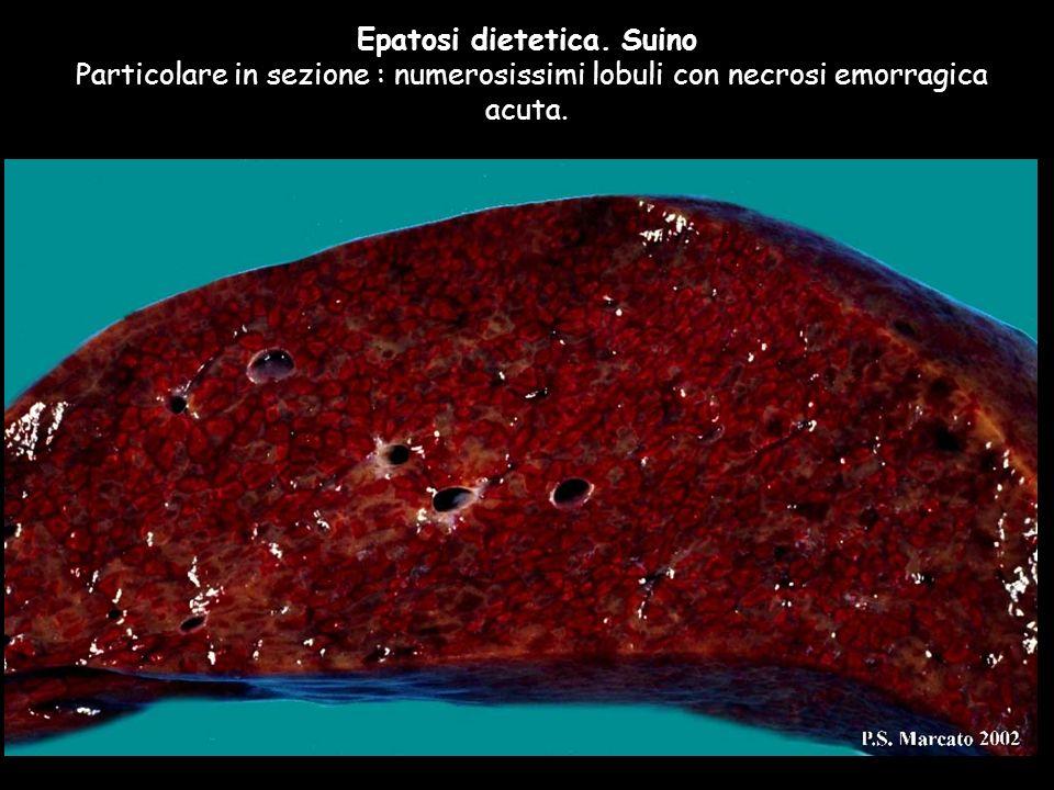 Epatosi dietetica. Suino Particolare in sezione : numerosissimi lobuli con necrosi emorragica acuta.