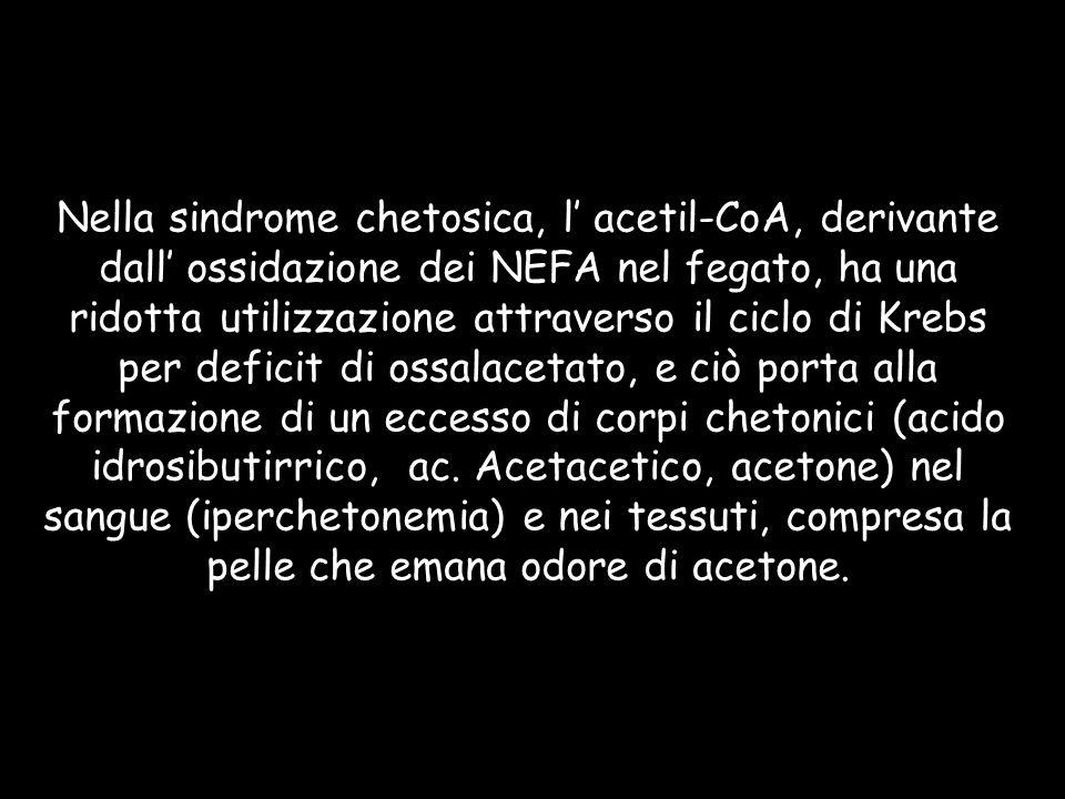 Nella sindrome chetosica, l acetil-CoA, derivante dall ossidazione dei NEFA nel fegato, ha una ridotta utilizzazione attraverso il ciclo di Krebs per