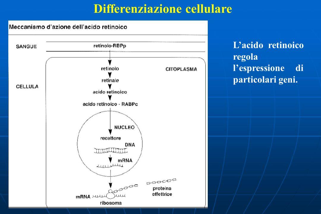 Differenziazione cellulare Lacido retinoico regola lespressione di particolari geni.