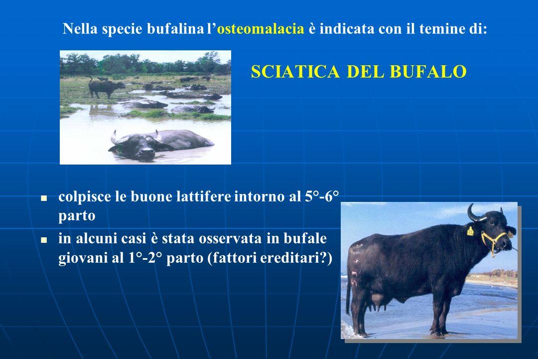 Nella specie bufalina losteomalacia è indicata con il temine di: SCIATICA DEL BUFALO colpisce le buone lattifere intorno al 5°-6° parto in alcuni casi