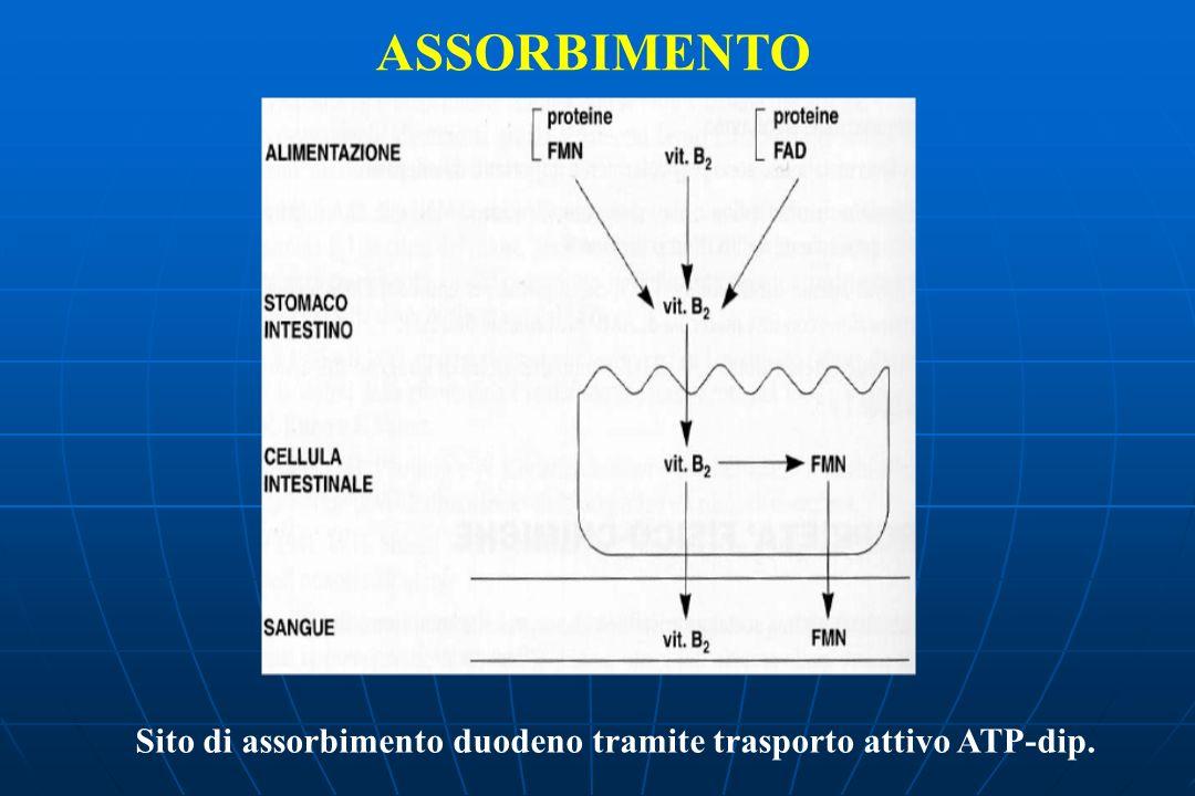 ASSORBIMENTO Sito di assorbimento duodeno tramite trasporto attivo ATP-dip.