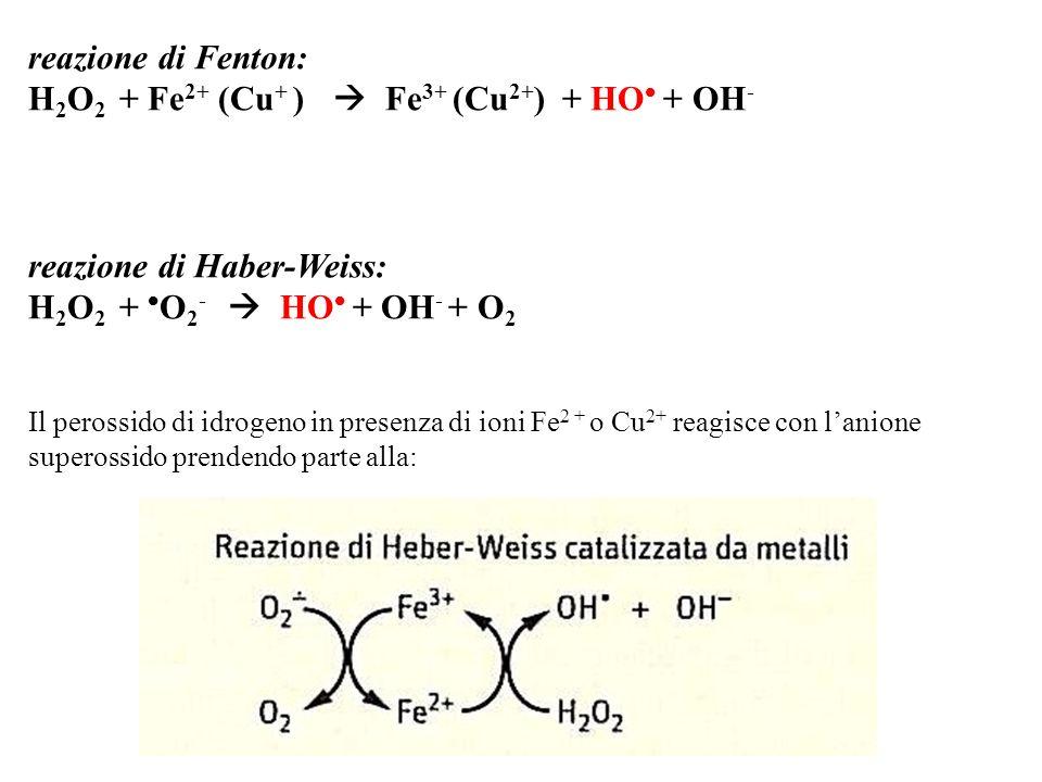 reazione di Fenton: H 2 O 2 + Fe 2+ (Cu + ) Fe 3+ (Cu 2+ ) + HO + OH - reazione di Haber-Weiss: H 2 O 2 + O 2 - HO + OH - + O 2 Il perossido di idroge