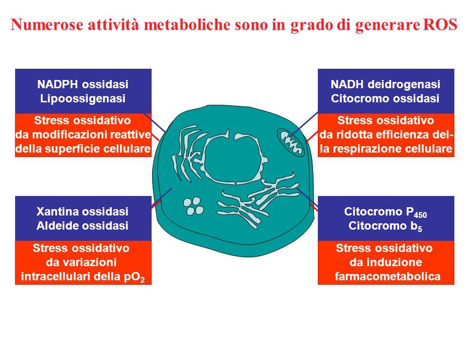 Numerose attività metaboliche sono in grado di generare ROS Citocromo P 450 Citocromo b 5 NADH deidrogenasi Citocromo ossidasi NADPH ossidasi Lipoossi