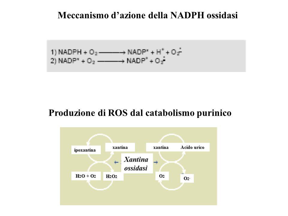 Produzione di ROS dal catabolismo purinico Xantina ossidasi ipoxantina xantinaxantina Acido urico H 2 O + O 2 H2O2H2O2H2O2H2O2 O2O2O2O2 O2.O2.O2.O2. M