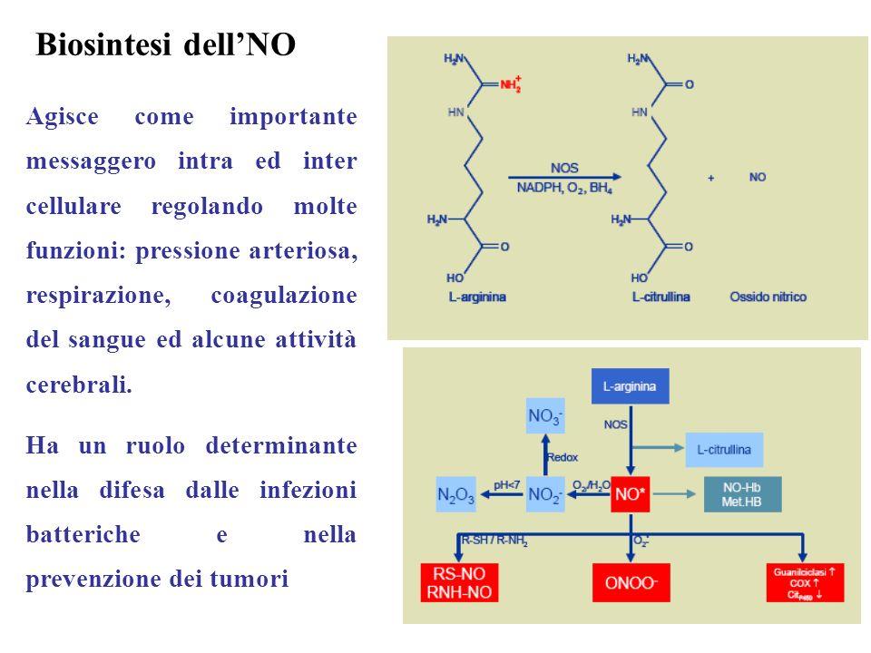 Biosintesi dellNO Agisce come importante messaggero intra ed inter cellulare regolando molte funzioni: pressione arteriosa, respirazione, coagulazione