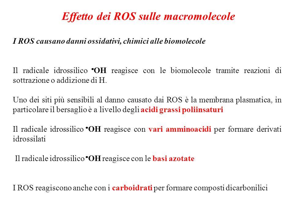 Effetto dei ROS sulle macromolecole I ROS causano danni ossidativi, chimici alle biomolecole Il radicale idrossilico OH reagisce con le biomolecole tr