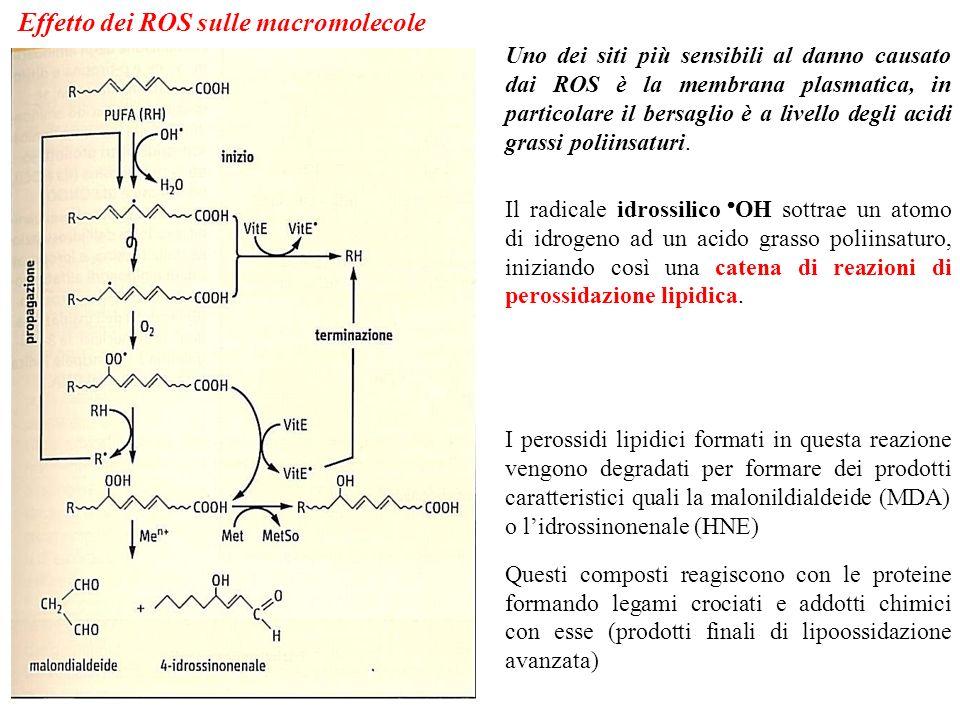 Effetto dei ROS sulle macromolecole Uno dei siti più sensibili al danno causato dai ROS è la membrana plasmatica, in particolare il bersaglio è a live