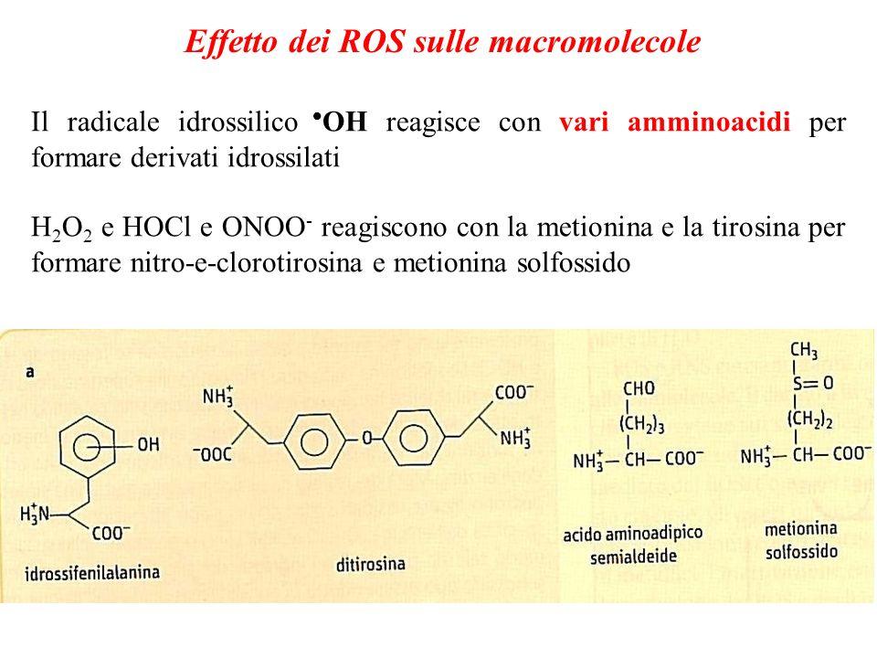 Effetto dei ROS sulle macromolecole Il radicale idrossilico OH reagisce con vari amminoacidi per formare derivati idrossilati H 2 O 2 e HOCl e ONOO -