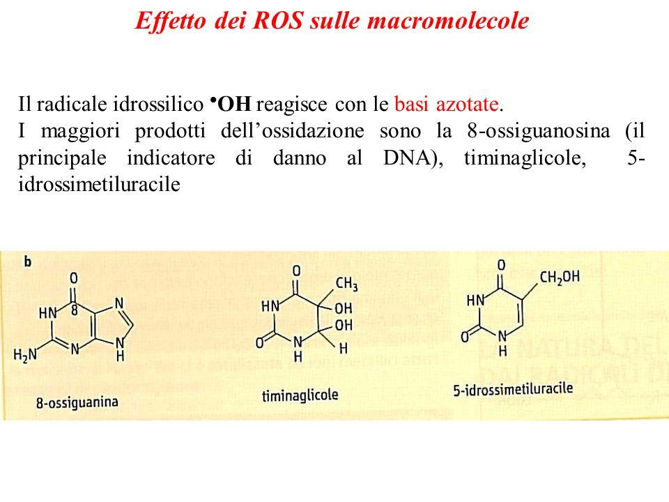 Effetto dei ROS sulle macromolecole Il radicale idrossilico OH reagisce con le basi azotate. I maggiori prodotti dellossidazione sono la 8-ossiguanosi