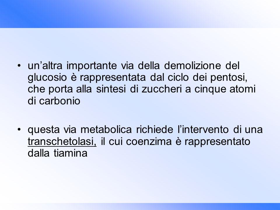 unaltra importante via della demolizione del glucosio è rappresentata dal ciclo dei pentosi, che porta alla sintesi di zuccheri a cinque atomi di carb