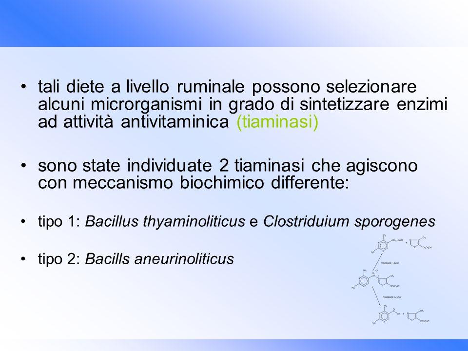 tali diete a livello ruminale possono selezionare alcuni microrganismi in grado di sintetizzare enzimi ad attività antivitaminica (tiaminasi) sono sta
