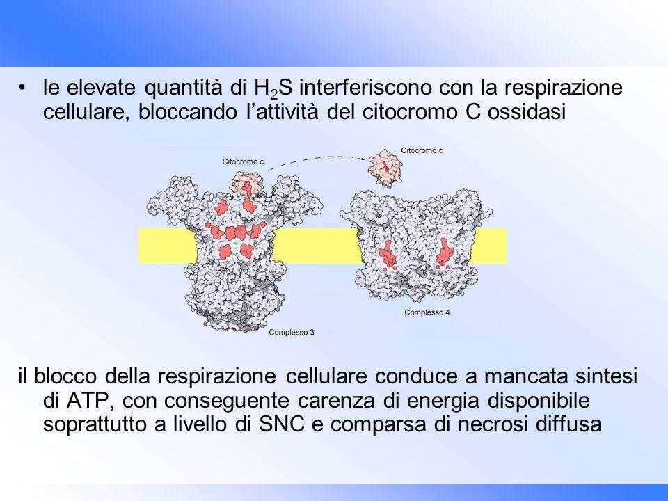 le elevate quantità di H 2 S interferiscono con la respirazione cellulare, bloccando lattività del citocromo C ossidasi il blocco della respirazione c