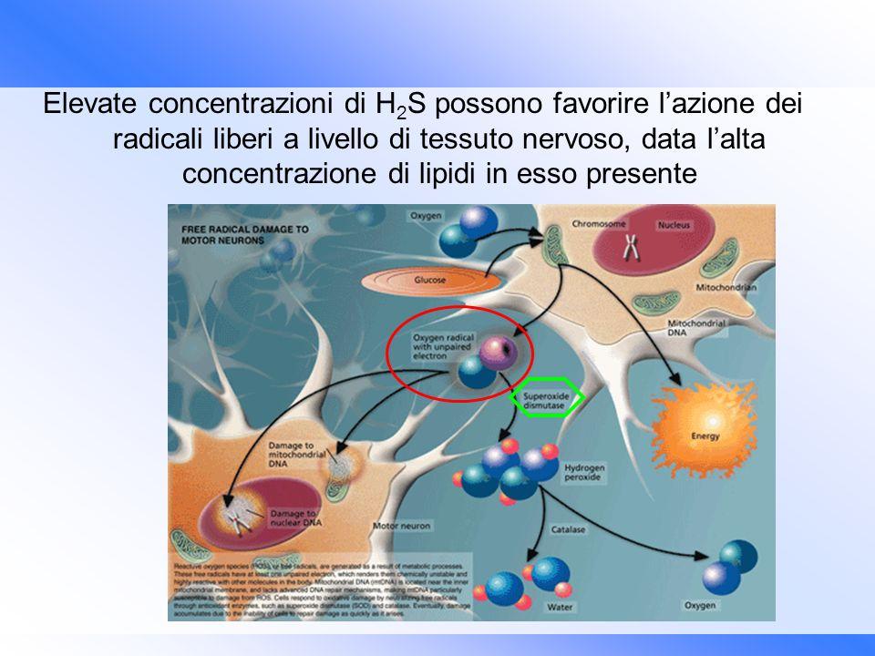Elevate concentrazioni di H 2 S possono favorire lazione dei radicali liberi a livello di tessuto nervoso, data lalta concentrazione di lipidi in esso