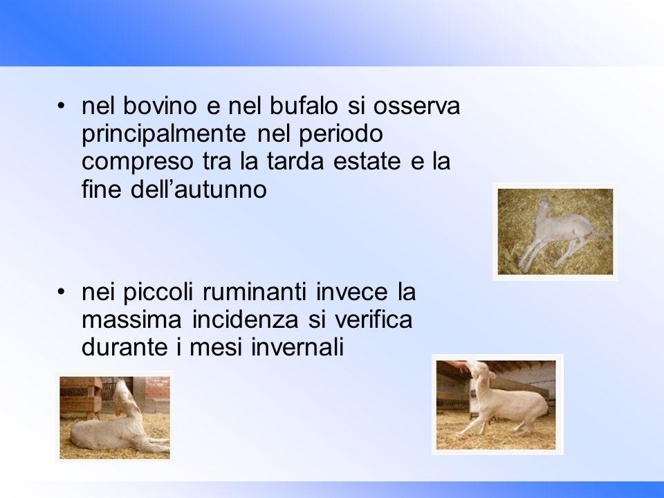 nel bovino e nel bufalo si osserva principalmente nel periodo compreso tra la tarda estate e la fine dellautunno nei piccoli ruminanti invece la massi
