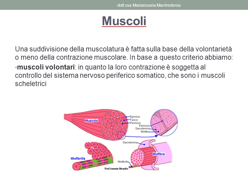 Muscoli Una suddivisione della muscolatura è fatta sulla base della volontarietà o meno della contrazione muscolare. In base a questo criterio abbiamo