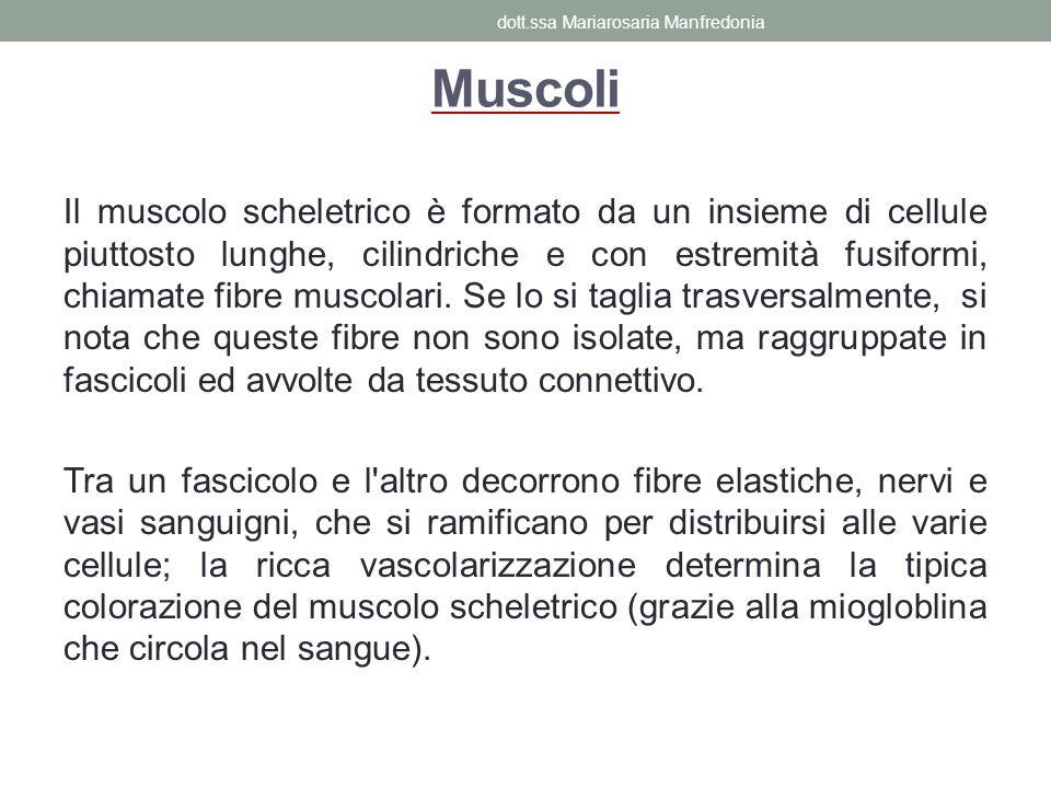 Muscoli Il muscolo scheletrico è formato da un insieme di cellule piuttosto lunghe, cilindriche e con estremità fusiformi, chiamate fibre muscolari. S