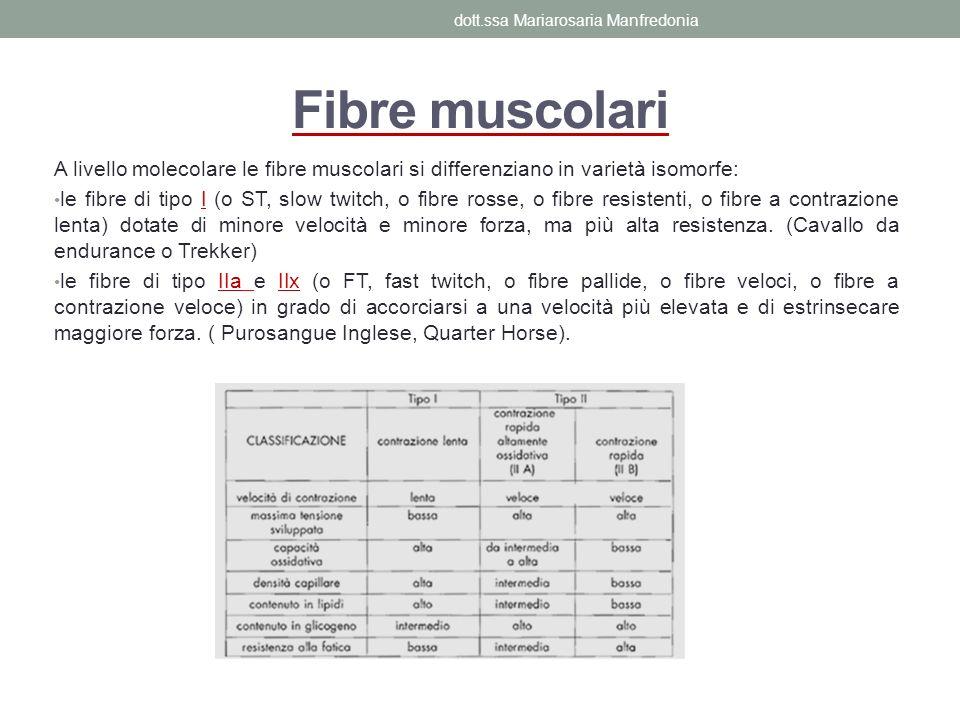 Fibre muscolari A livello molecolare le fibre muscolari si differenziano in varietà isomorfe: le fibre di tipo I (o ST, slow twitch, o fibre rosse, o