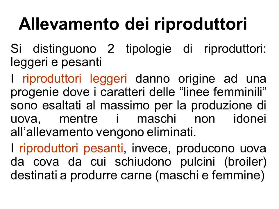 Allevamento dei riproduttori Si distinguono 2 tipologie di riproduttori: leggeri e pesanti I riproduttori leggeri danno origine ad una progenie dove i