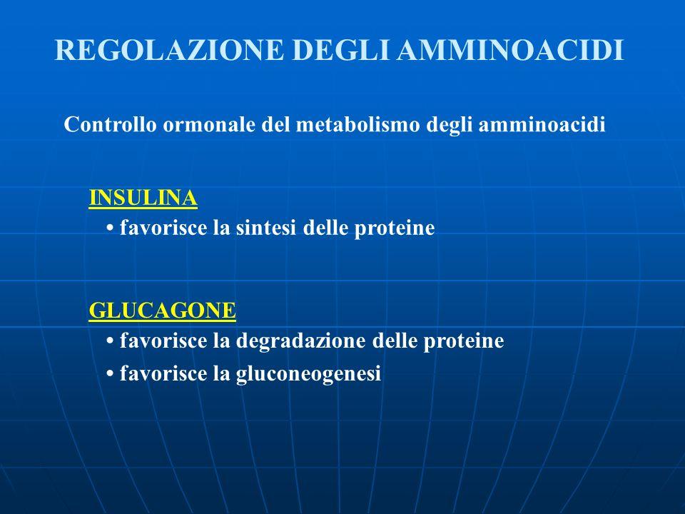 Controllo ormonale del metabolismo degli amminoacidi INSULINA favorisce la sintesi delle proteine GLUCAGONE favorisce la degradazione delle proteine f