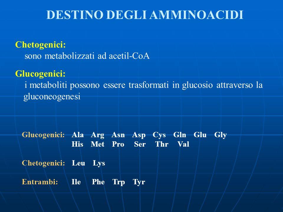 Chetogenici: sono metabolizzati ad acetil-CoA Glucogenici: i metaboliti possono essere trasformati in glucosio attraverso la gluconeogenesi Glucogenic