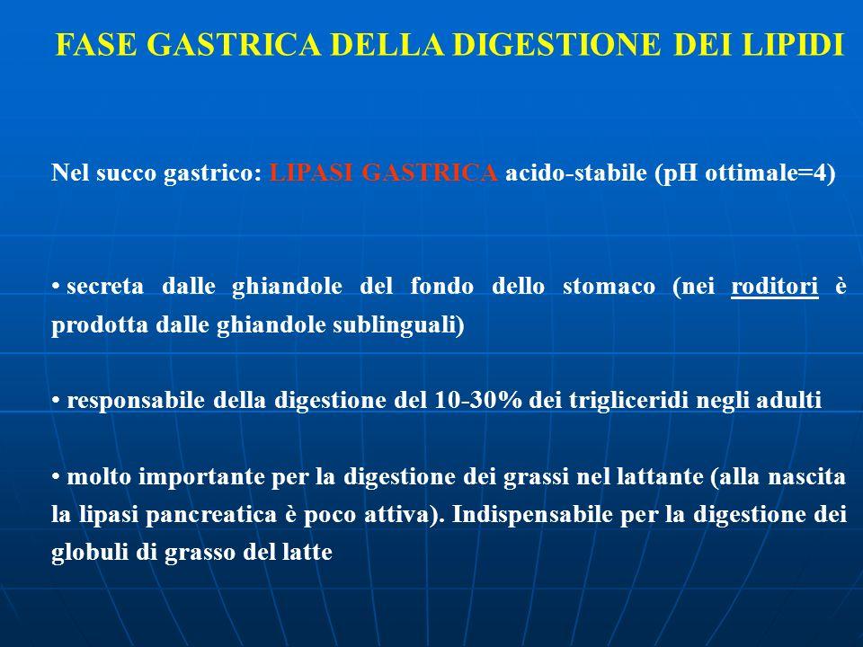 FASE GASTRICA DELLA DIGESTIONE DEI LIPIDI Nel succo gastrico: LIPASI GASTRICA acido-stabile (pH ottimale=4) secreta dalle ghiandole del fondo dello st