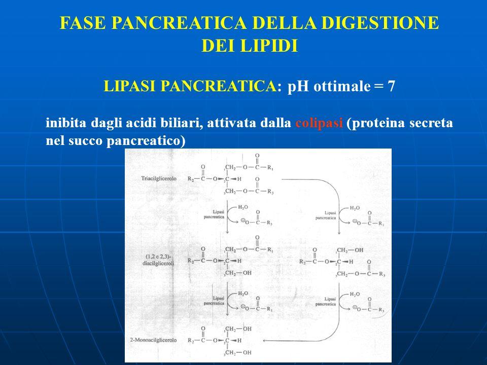 FASE PANCREATICA DELLA DIGESTIONE DEI LIPIDI LIPASI PANCREATICA: pH ottimale = 7 inibita dagli acidi biliari, attivata dalla colipasi (proteina secret