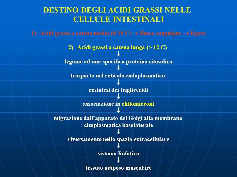 DESTINO DEGLI ACIDI GRASSI NELLE CELLULE INTESTINALI 1)Acidi grassi a catena media (6-10 C) flusso sanguigno fegato 2)Acidi grassi a catena lunga (> 1