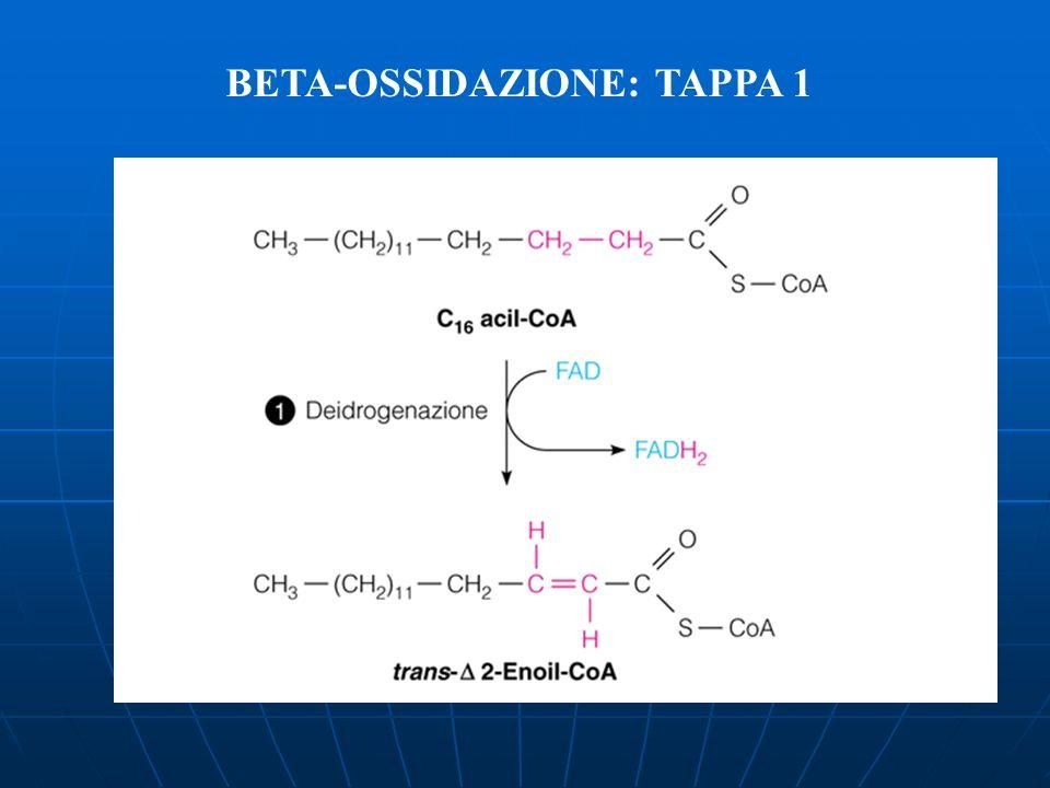 BETA-OSSIDAZIONE: TAPPA 1