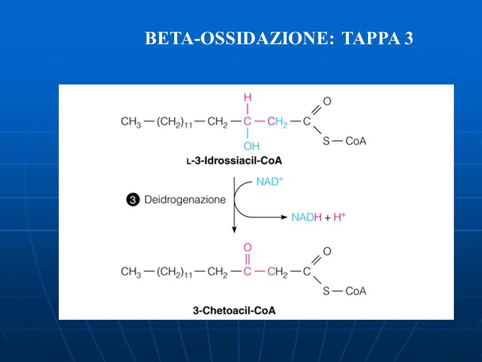 BETA-OSSIDAZIONE: TAPPA 3