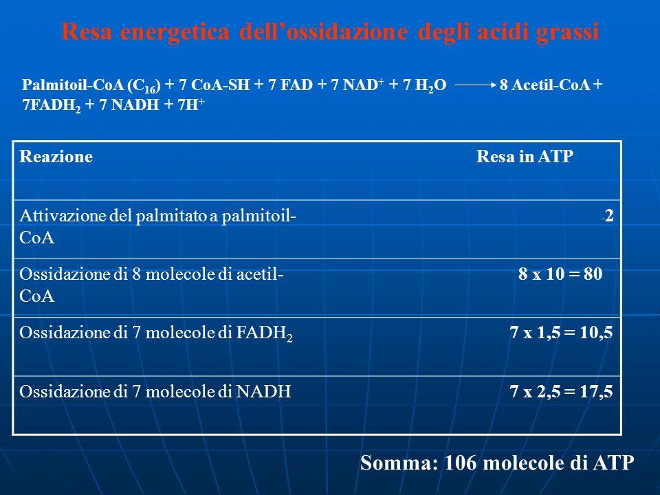Resa energetica dellossidazione degli acidi grassi Reazione Resa in ATP Attivazione del palmitato a palmitoil- CoA -2-2 Ossidazione di 8 molecole di a