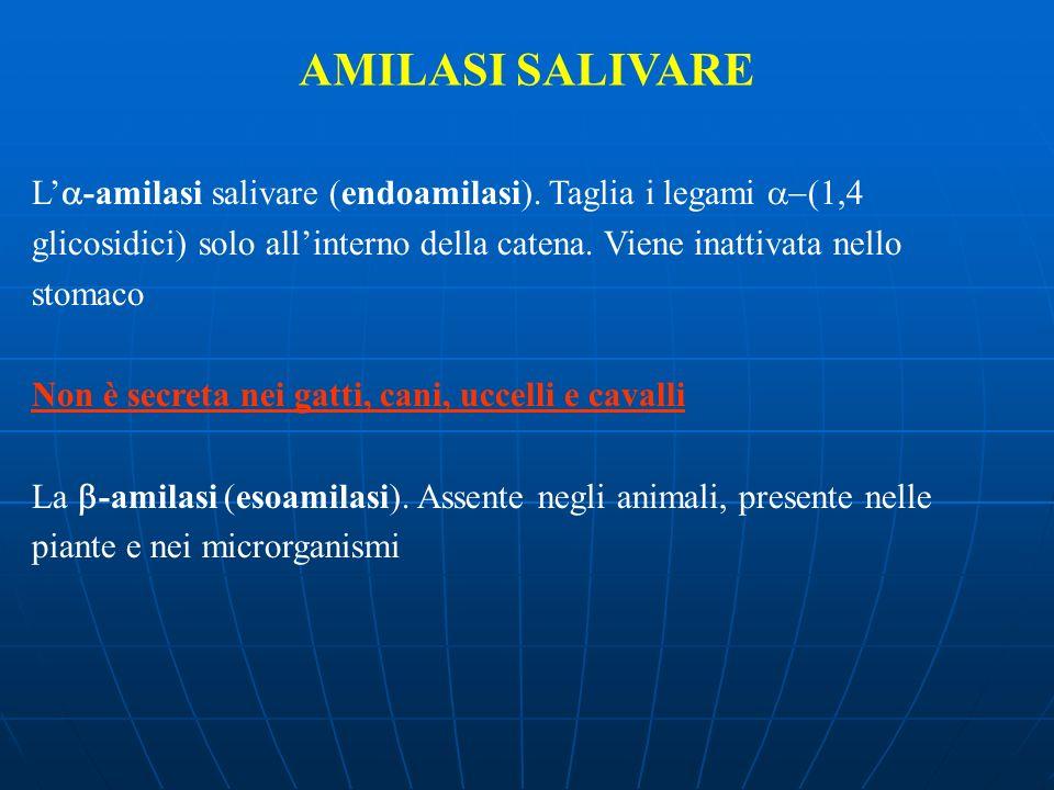 L -amilasi salivare (endoamilasi). Taglia i legami (1,4 glicosidici) solo allinterno della catena. Viene inattivata nello stomaco Non è secreta nei ga