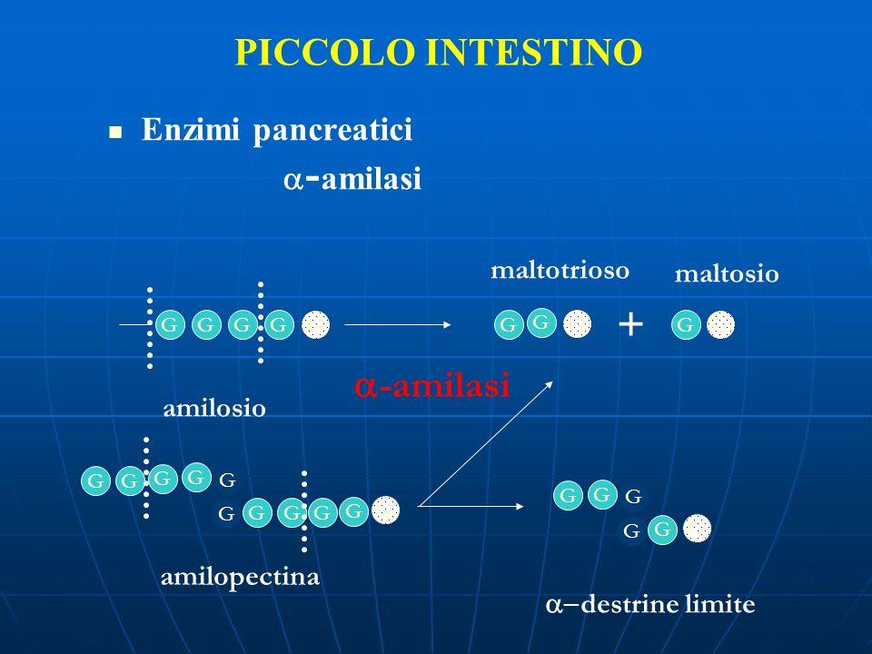 PICCOLO INTESTINO Enzimi pancreatici - amilasi GGGGG G G GG G G G G G G G amilosio amilopectina G G G GG -amilasi + G G G G G maltotrioso maltosio des