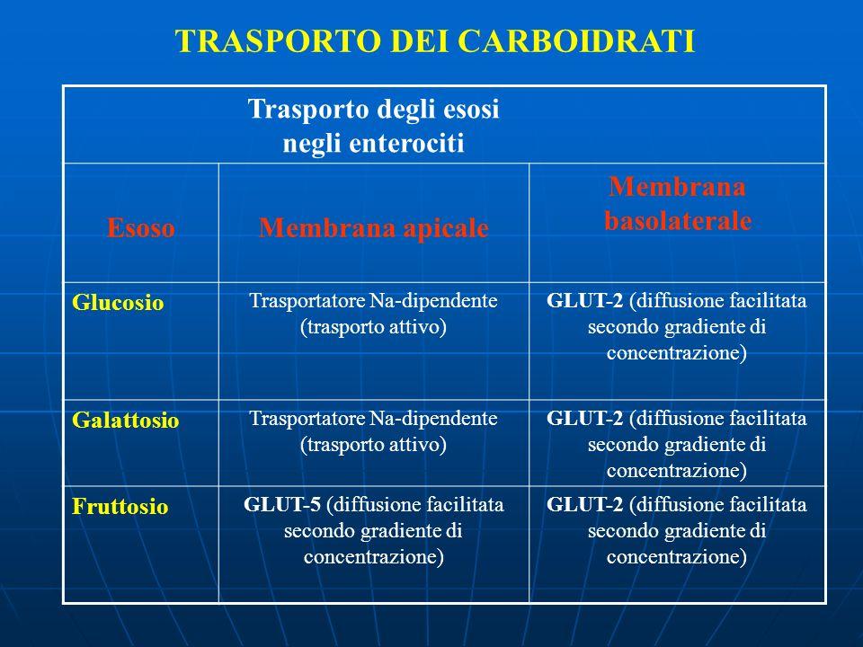 TRASPORTO DEI CARBOIDRATI Trasporto degli esosi negli enterociti EsosoMembrana apicale Membrana basolaterale Glucosio Trasportatore Na-dipendente (tra