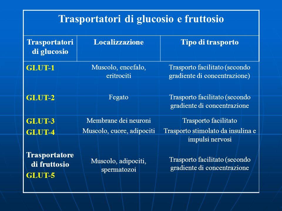 Trasportatori di glucosio e fruttosio Trasportatori di glucosio LocalizzazioneTipo di trasporto GLUT-1 Muscolo, encefalo, eritrociti Trasporto facilit