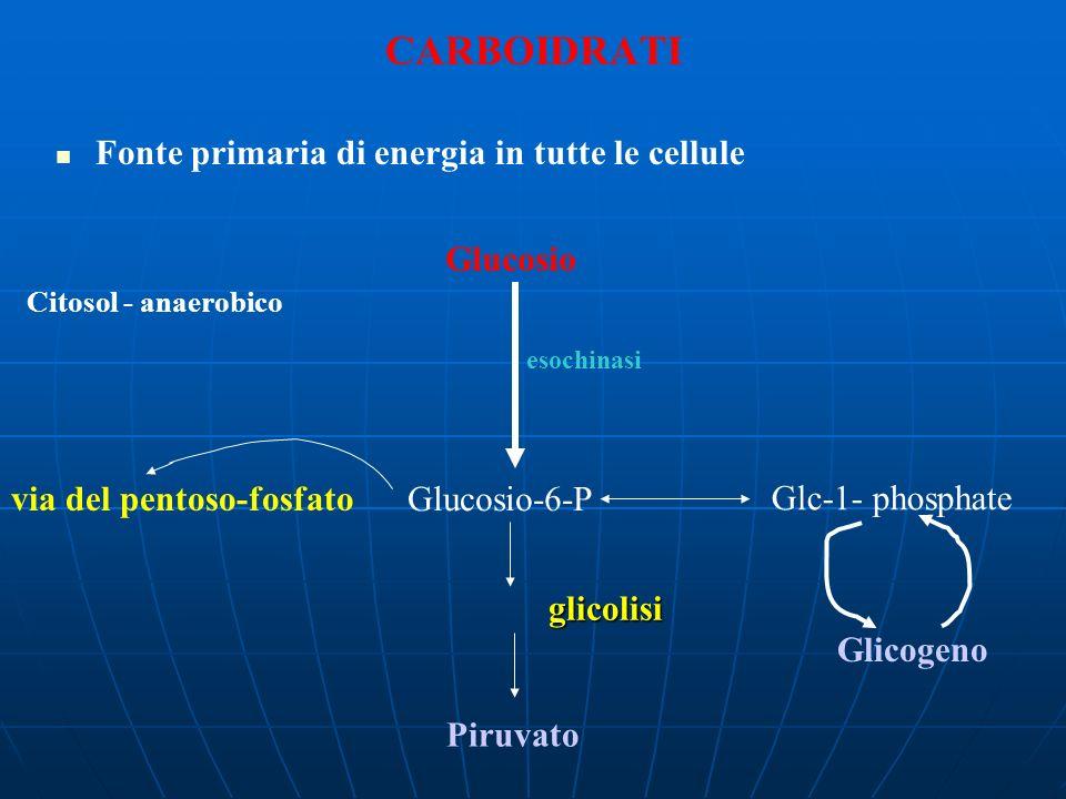 Glucosio Glucosio-6-P Piruvato esochinasi via del pentoso-fosfato glicolisi CARBOIDRATI Fonte primaria di energia in tutte le cellule Glc-1- phosphate