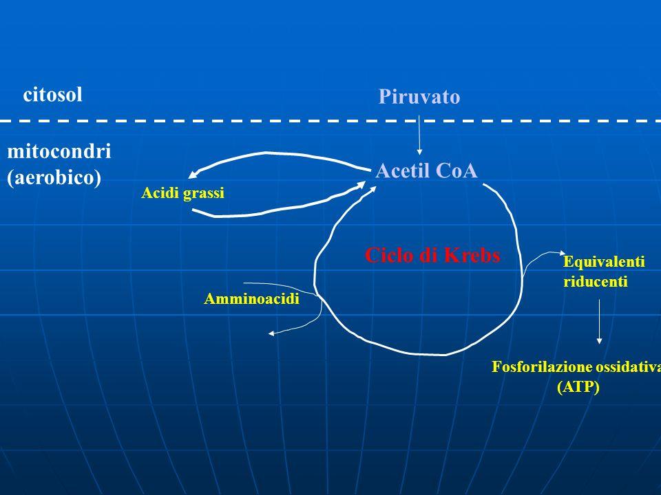 Piruvato citosol Acetil CoA mitocondri (aerobico) Ciclo di Krebs Equivalenti riducenti Fosforilazione ossidativa (ATP) Amminoacidi Acidi grassi