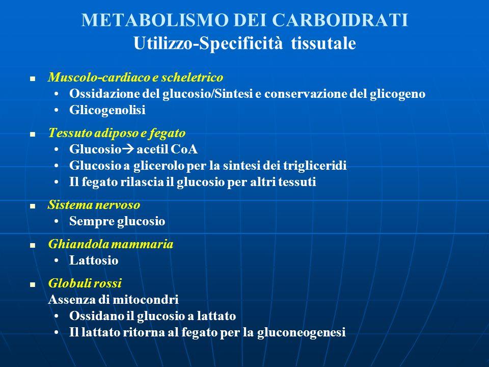 METABOLISMO DEI CARBOIDRATI Utilizzo-Specificità tissutale Muscolo-cardiaco e scheletrico Ossidazione del glucosio/Sintesi e conservazione del glicoge