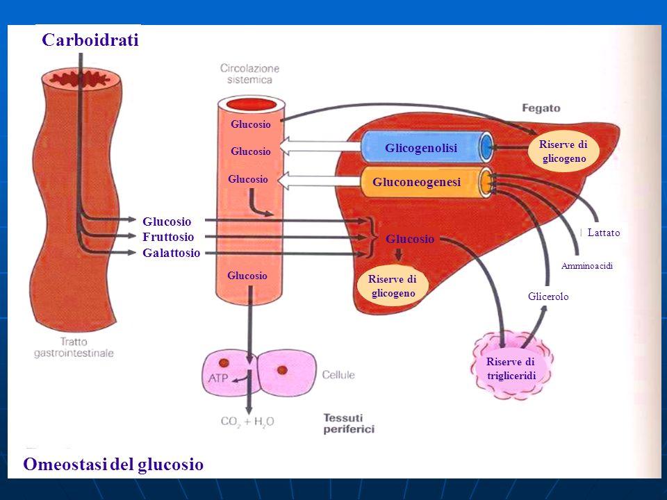 Omeostasi del glucosio Carboidrati Glucosio Fruttosio Galattosio Glucosio Glicogenolisi Gluconeogenesi Riserve di glicogeno Riserve di glicogeno Glice