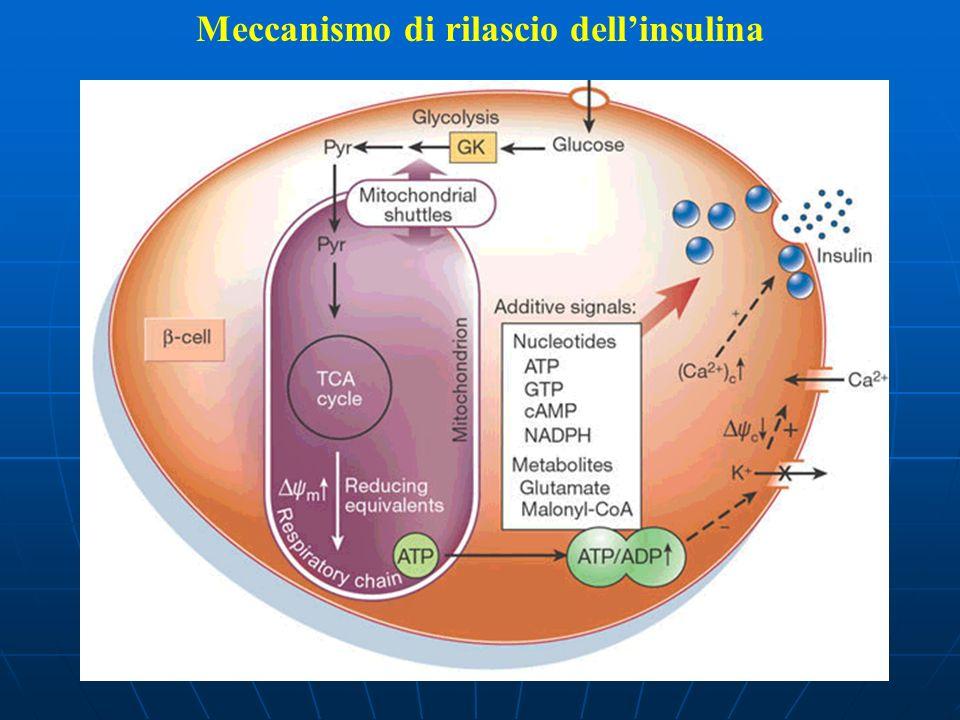 Meccanismo di rilascio dellinsulina
