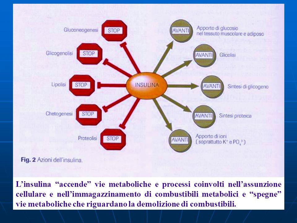Linsulina accende vie metaboliche e processi coinvolti nellassunzione cellulare e nellimmagazzinamento di combustibili metabolici e spegne vie metabol