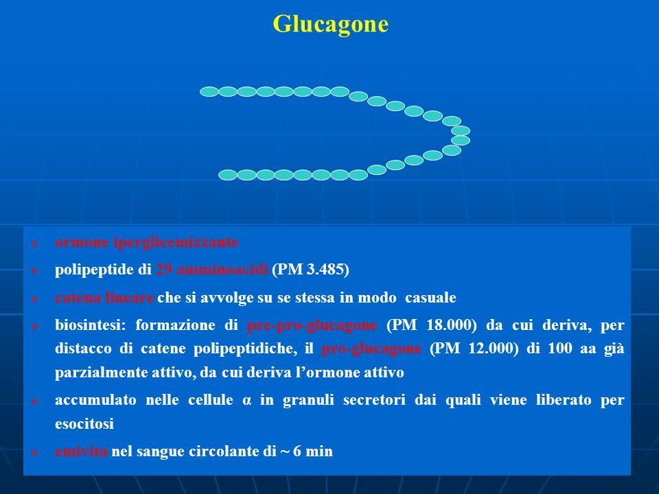 Glucagone ormone iperglicemizzante polipeptide di 29 amminoacidi (PM 3.485) catena lineare che si avvolge su se stessa in modo casuale biosintesi: for