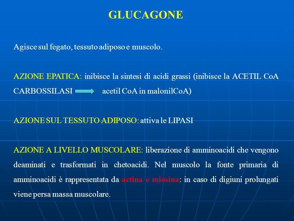 GLUCAGONE Agisce sul fegato, tessuto adiposo e muscolo. AZIONE EPATICA: inibisce la sintesi di acidi grassi (inibisce la ACETIL CoA CARBOSSILASI aceti