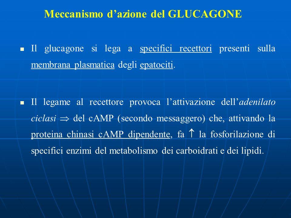 Meccanismo dazione del GLUCAGONE Il glucagone si lega a specifici recettori presenti sulla membrana plasmatica degli epatociti. Il legame al recettore
