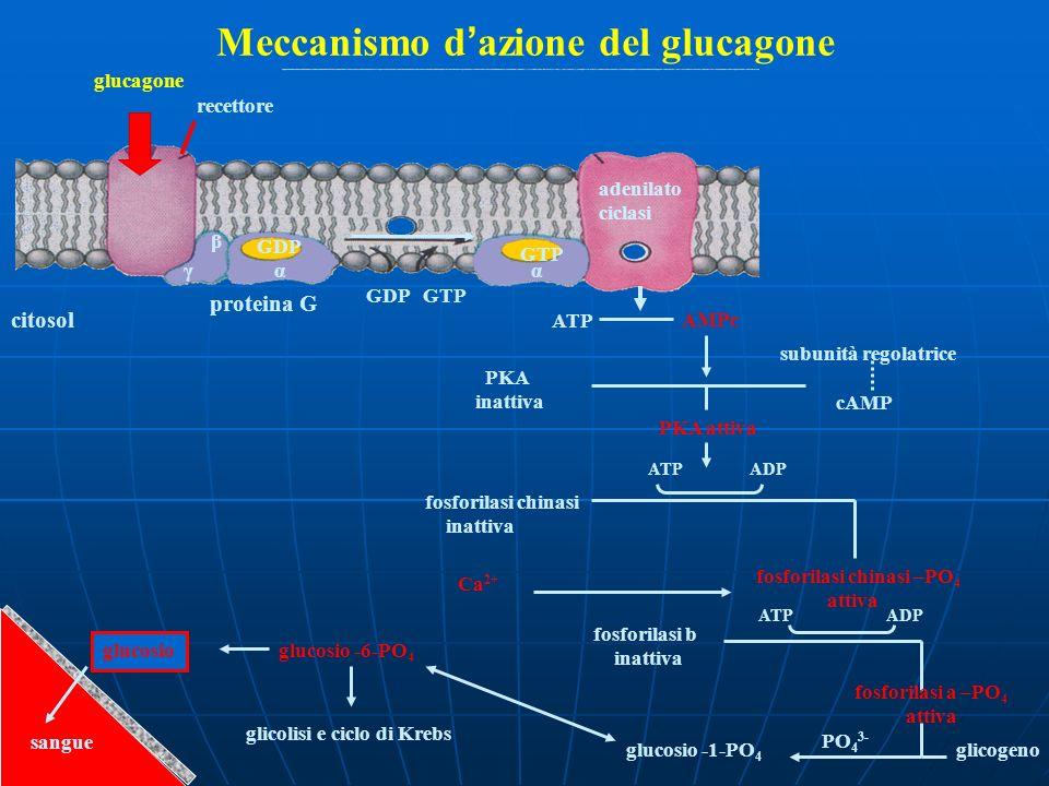 Meccanismo d azione del glucagone glucagone recettore GDP β γα GDP GTP citosol proteina G GTP α adenilato ciclasi ATP AMPc PKA inattiva subunità regol