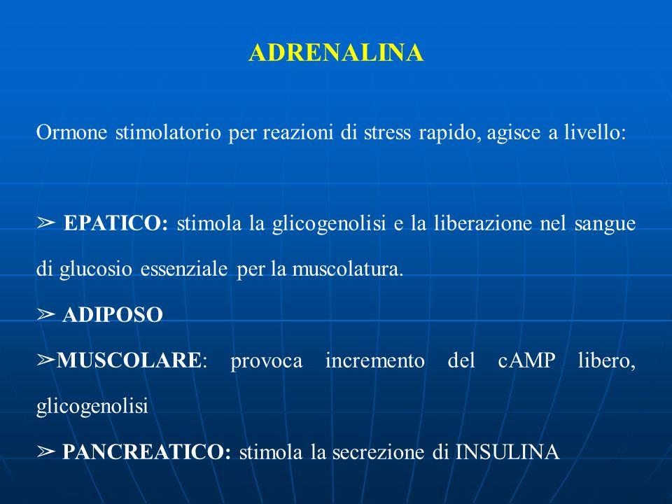 ADRENALINA Ormone stimolatorio per reazioni di stress rapido, agisce a livello: EPATICO: stimola la glicogenolisi e la liberazione nel sangue di gluco